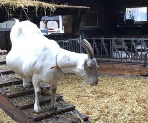 Hoogzwangere geiten op Ridammerhoeve
